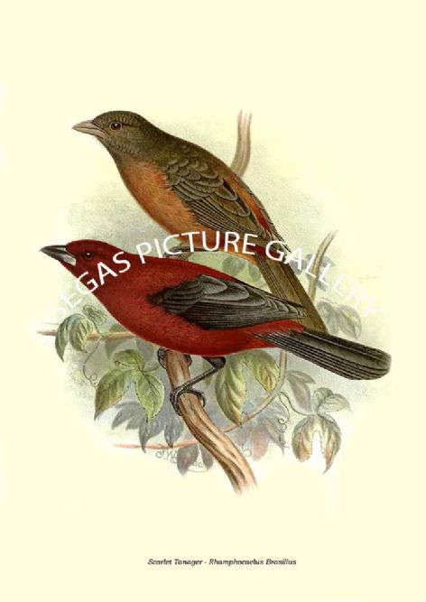 Fine art print of the Scarlet Tanager - Rhamphocaelus Brasilius by the Artist Frederick William Frohawk (1899)